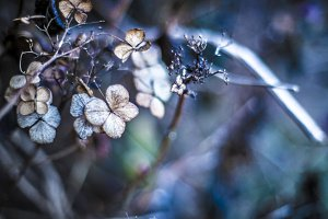 Dried flowers of hydrangeas