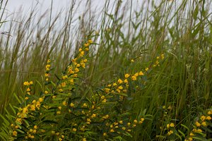Blooming prairie grass