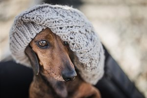 Red dachshund with hat
