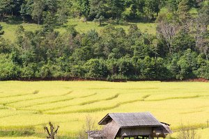 House built in the middle of rice