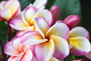 Plumeria flower in full bloom