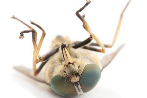 Dead horsefly