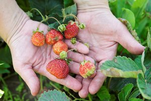 Farmer shows strawberries