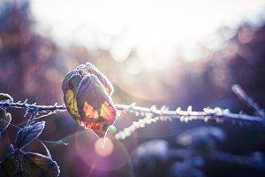 Frozen Land: Leaf