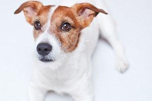 Jack Russell Terrier, Set 5