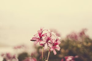 Beautiful pink flowers I
