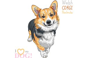 Dog Pembroke Welsh corgi breed