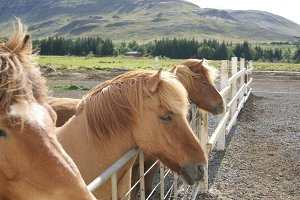 Icelandic horses close-up