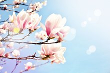 Magnolia blossom in a sun flare.