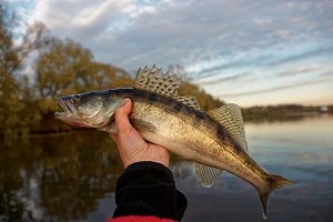 Walleye in fisherman's hand