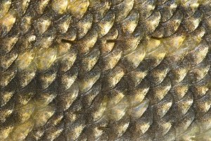Scales of pike, natural texture