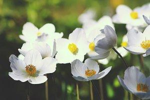 White anemona flowers
