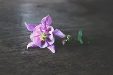 Aquilegia flower on wooden table.