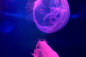 Fluorescent jelly-fishes