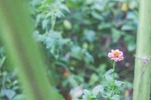 Rosy pink zinnia