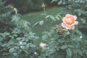 The loveliest rose