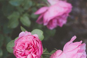 French pink roses