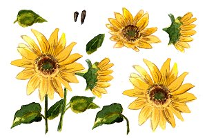 №68  Watercolor sunflower