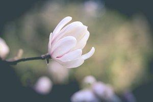 Magnolia Tree Flower II