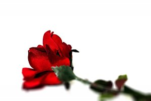 Simply Red: Single Rose Stock Image
