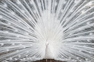 white peacock close up
