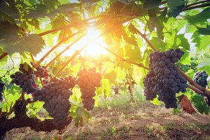 Ripe wine grapes, Tuscany.