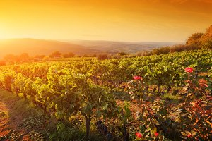 Vineyard in Tuscany at sunset.