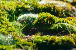 Moss in dew, macro shot