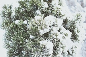 Beautiful frozen pine tree