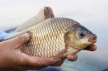 Crucian carp in fisherman's hands