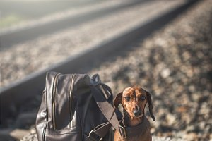Dachshund sitting near backpack