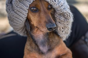 Portrait of red dachshund