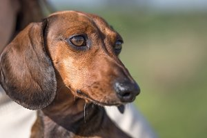 Close-up of cute brown dachshund