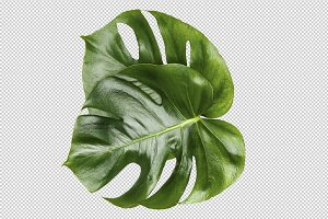 Monstera isolated leaves