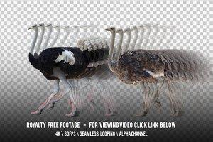 Ostrich Walking