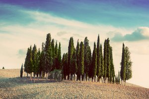 Cypress trees on the field, Tuscany.
