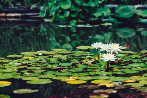 Lilypads with White Flowers