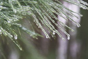 Icy Pine 2