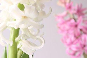 White & Pink Hyacinths