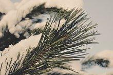 Fir Tree with Snow