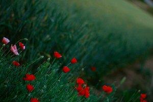 Poppy magic field
