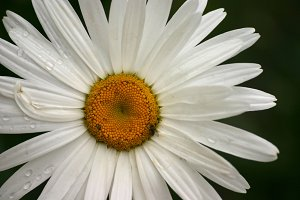 White Daisy on Dark Background