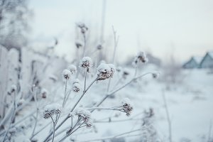 Burdock Prickles Snow