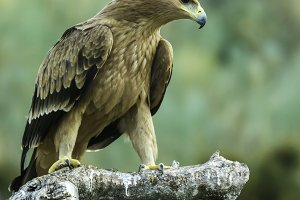 spanish imperial eagle