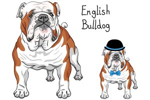 Dog breed English Bulldog