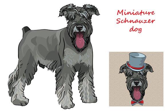 Dog Miniature Schnauzer