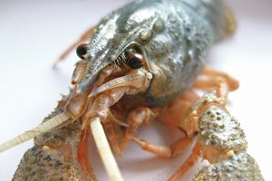 Сrayfish