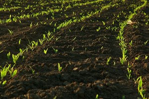 Field with Sprouts
