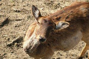 Funny Looking Deer