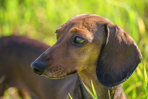 Dachshund in bright grass in sunlit